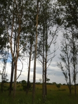 "Gum trees planted to commemorate ""P's"" birth"